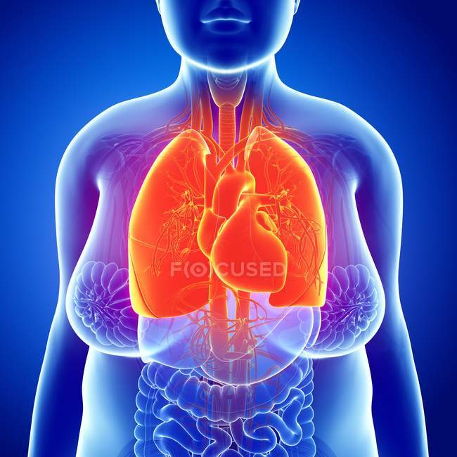 Respiratory system of adult — Stock Photo