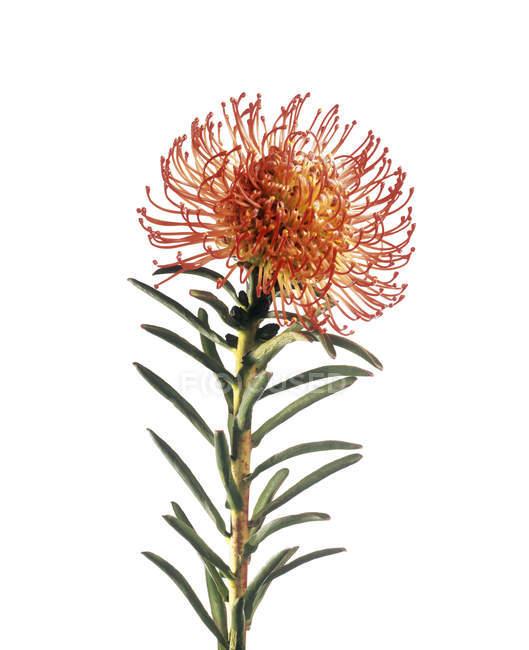 Цветок растения Scabiosa на белом фоне . — стоковое фото