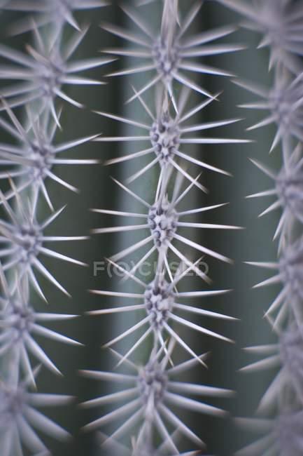 Nahaufnahme von Kakteenstacheln an Pflanzen. — Stockfoto