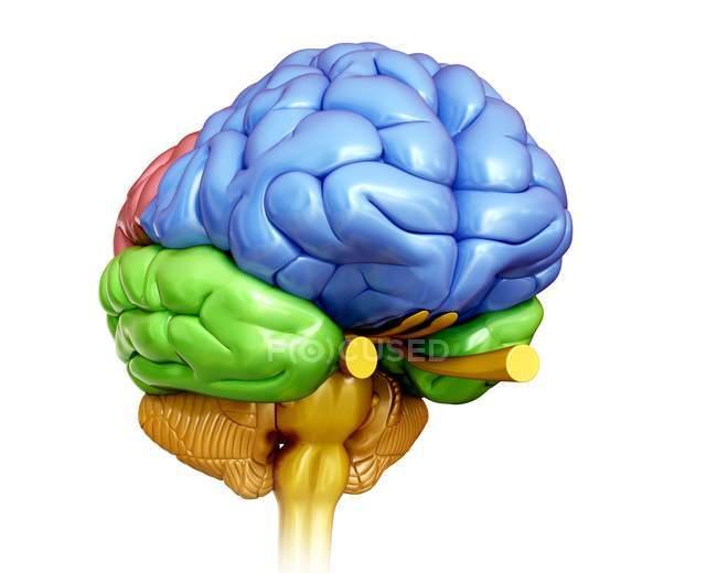 Anatomie des menschlichen Gehirns — Stockfoto   #160566946