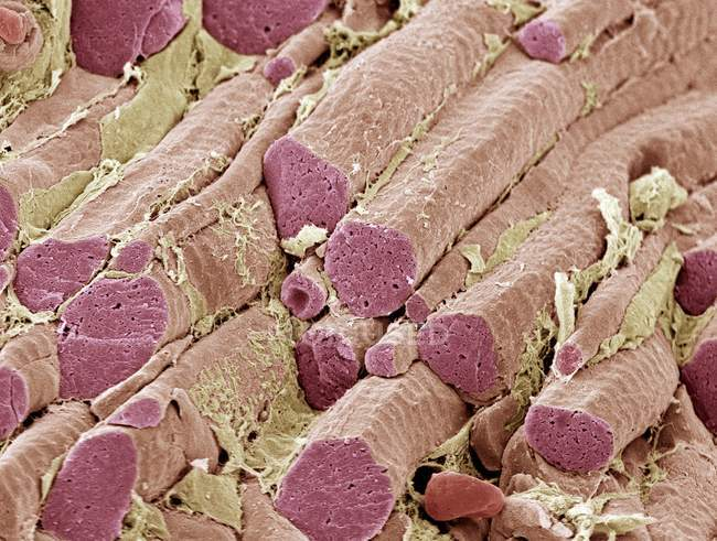 Skeletal muscle fibres — Stock Photo