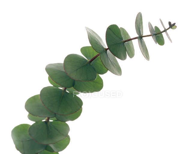 Folhas de eucalipto na filial em fundo branco. — Fotografia de Stock