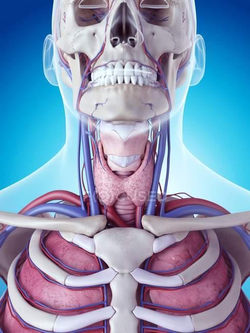 Glándula tiroides humana - foto de stock