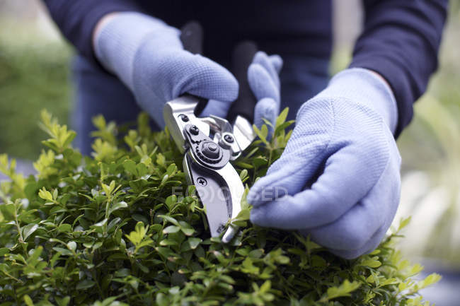 Close-up de mulher usando tesouras de jardim para arbusto aparamento. — Fotografia de Stock