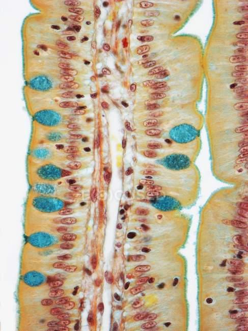 Proyecciones similares a dedos del duodeno - foto de stock