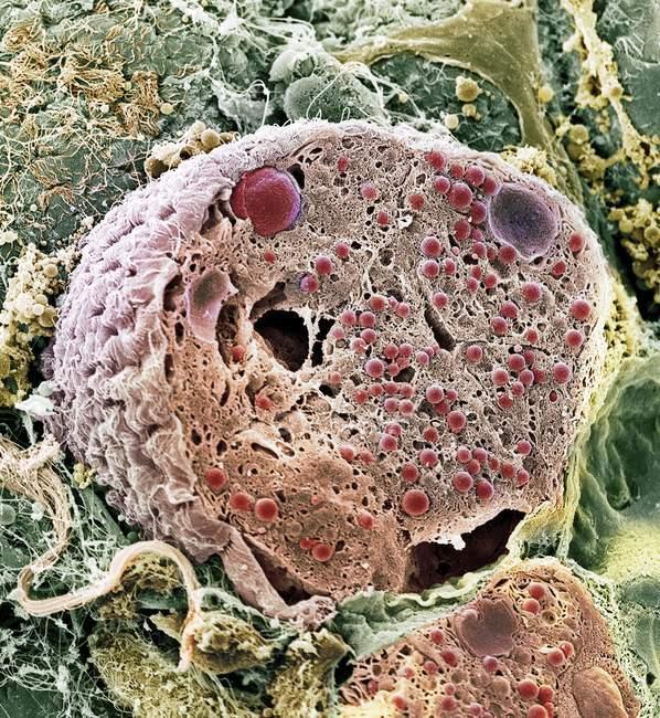 Cellula pancreatica acinare — Foto stock