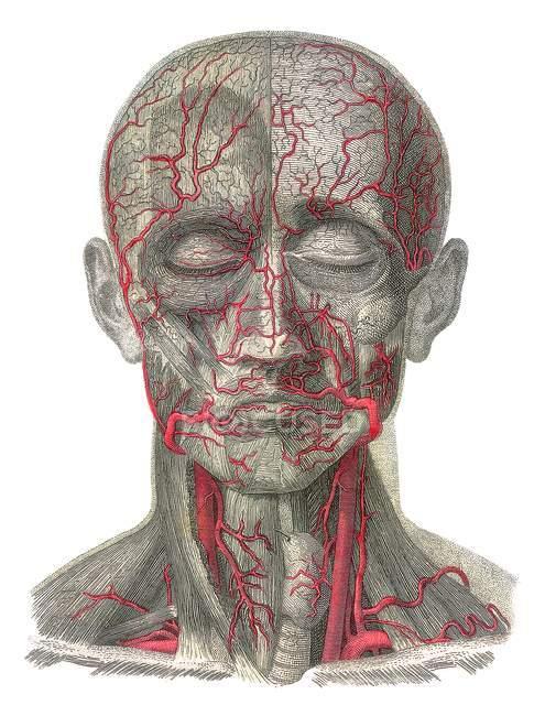 Human anatomical structure — Stock Photo