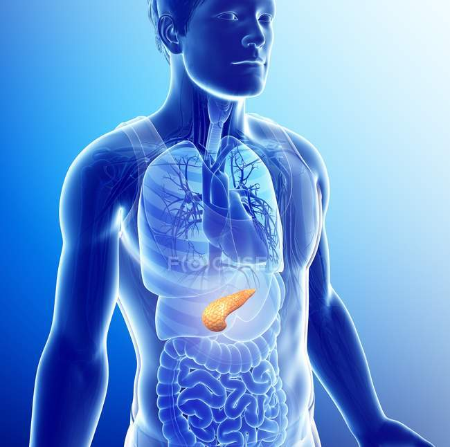 Conceptual computer Illustration of male pancreas. — Stock Photo
