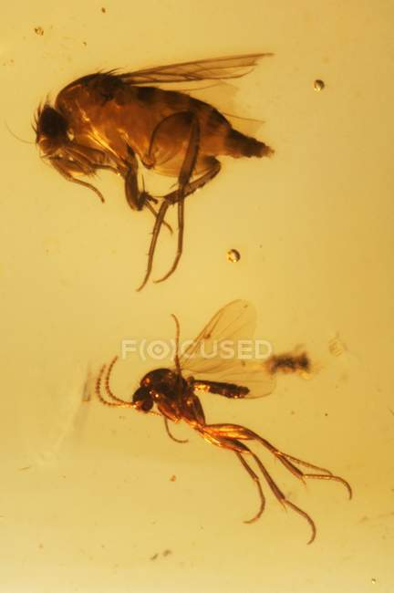 Gli insetti fossilizzato in ambra — Foto stock