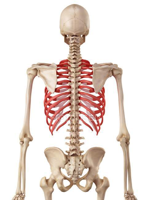 Human Rib Cage Anatomy White Background Rear View Stock Photo