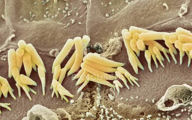 Coloured scanning electron micrograph (SEM) of sensory inner hair cells from the organ of corti, in the cochlea of the inner ear. — Stock Photo