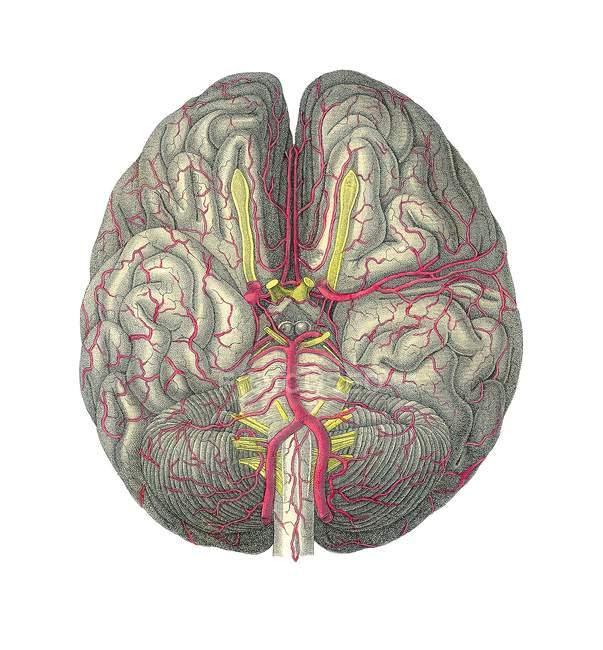 Vasos sanguíneos del cerebro - foto de stock