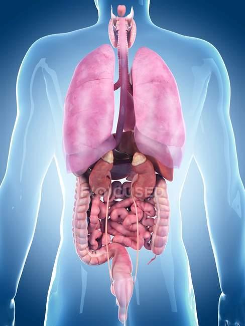 Здоровые внутренние органы взрослого — стоковое фото
