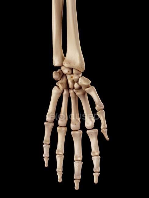 Anatomia delle ossa della mano umana — Foto stock