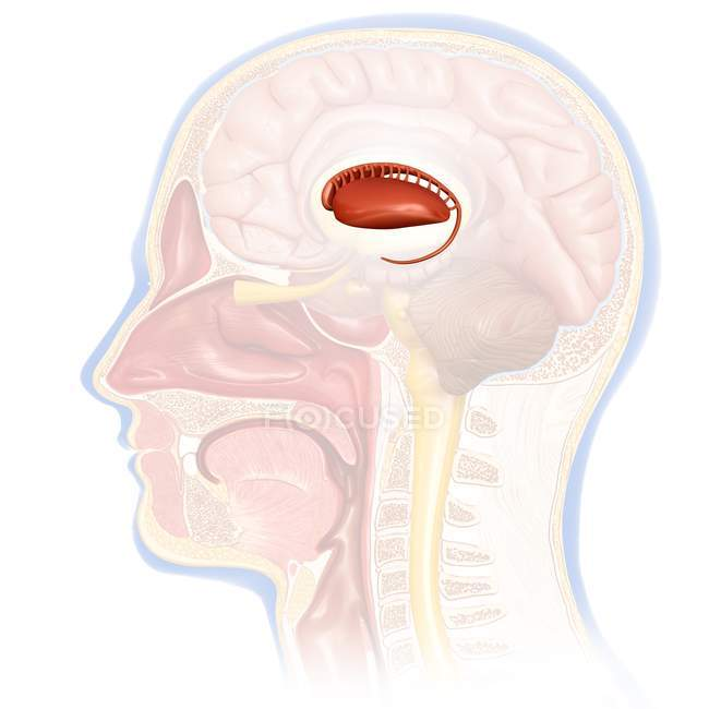 Human brain caudate nucleus — Stock Photo | #160569126