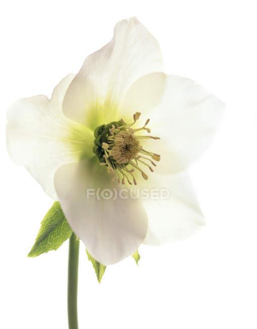 Fiore di Hellebore velenoso — Foto stock