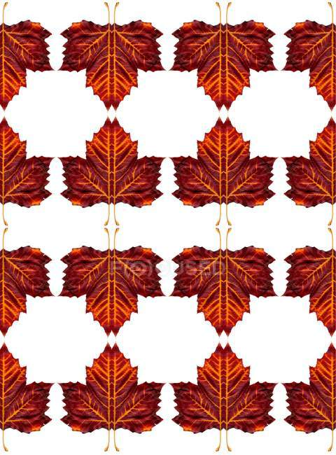 Autumnal maple leaves pattern on white background. — Stock Photo