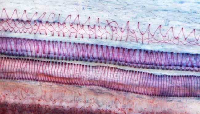 Micrografía ligera (LM) de una sección a través de un tejido de girasol (helianthus annuus) que muestra traqueoides espirales, un tipo de xilema . - foto de stock