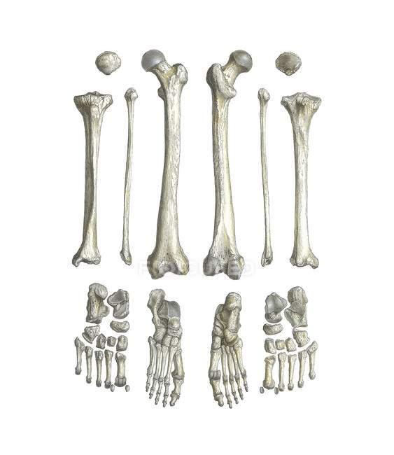 Anatomia delle gambe — Foto stock