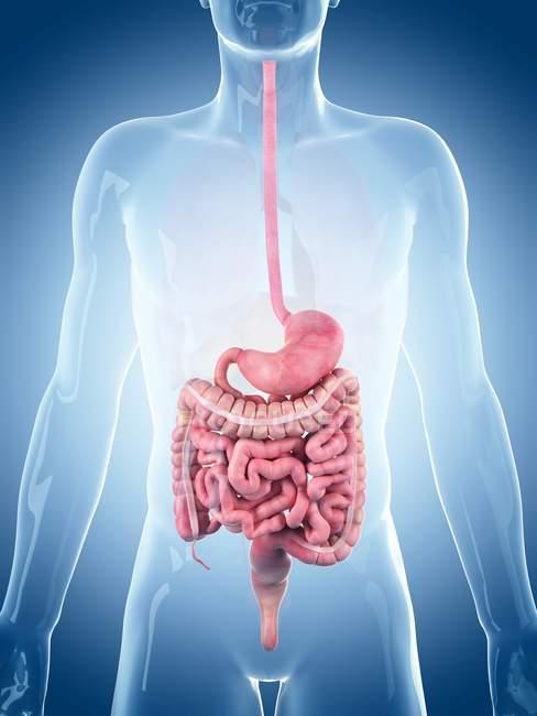 Sistema digestivo humano normal - foto de stock