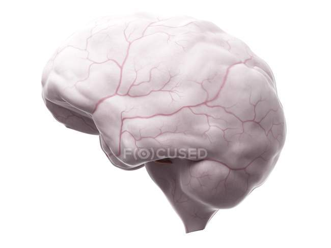 Brain anatomy showing blood supply system — Stock Photo | #160569784