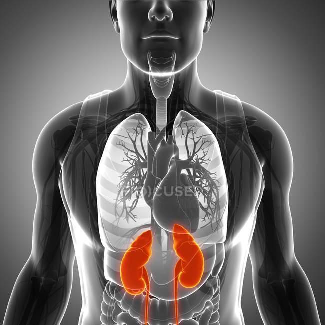 Rins em relação a outros órgãos internos — Fotografia de Stock