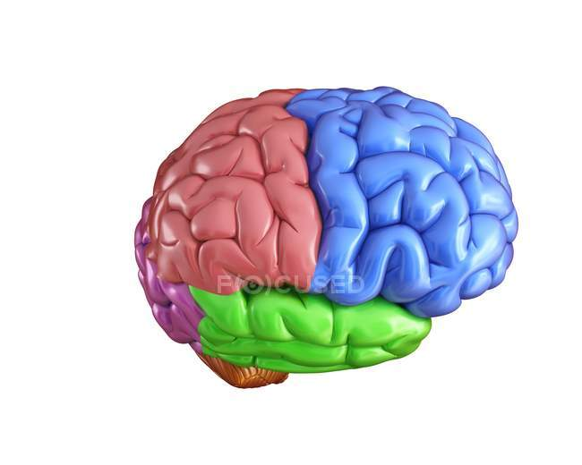 Human Brain Anatomy Stock Photo 160569846
