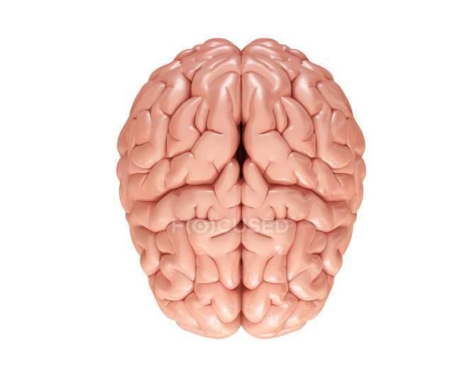 Normale menschliche Gehirn — Stockfoto   #160569978
