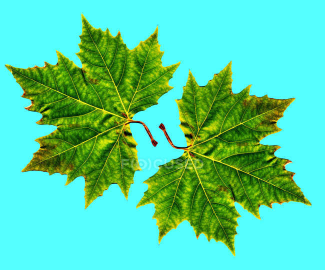 Two green maple leaves on blue background. — Stock Photo