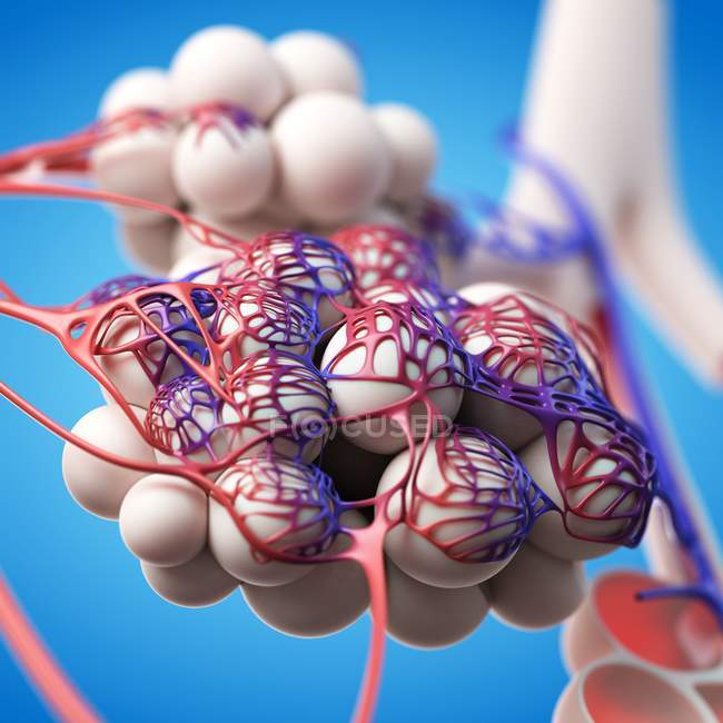Normal human alveoli — Stock Photo