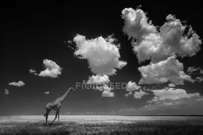 Giraffe walking on plain of Serengeti, Tanzania. — Stock Photo