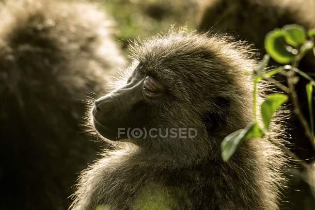 Pavian schlafen in Wild, Serengeti, Tansania. — Stockfoto