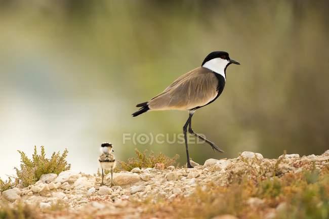 Sporn-winged Plover mit Küken zu Fuß auf felsigem Boden. — Stockfoto
