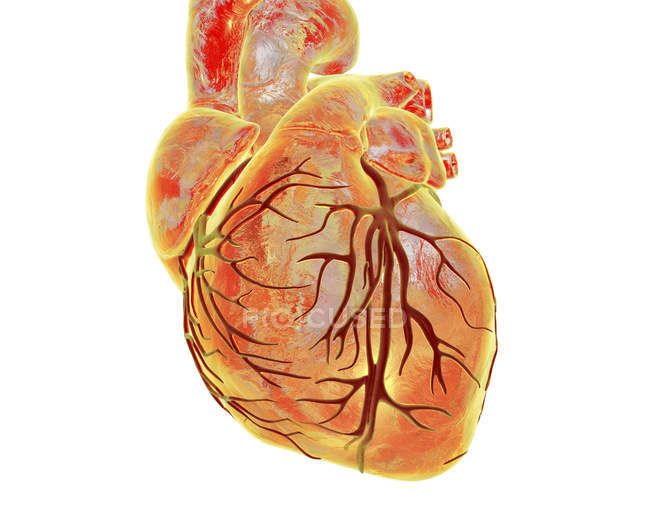 Heart with coronary blood vessels — Stock Photo | #161671930