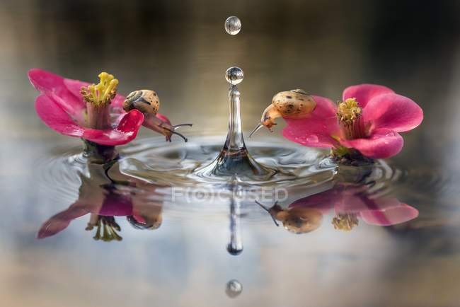 Zwei kleine Schnecken auf rosa Blüten in Wasser mit fallenden Tropfen und Spiegelbild. — Stockfoto