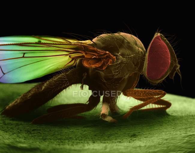 Micrographie de mouche domestique — Photo de stock