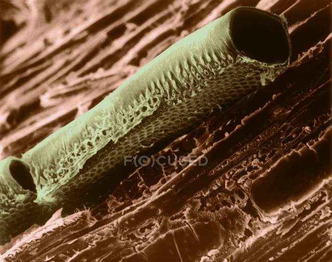 Conductive vessel element in mountain mahogany wood (Cercocarpus sp), coloured scanning electron micrograph (SEM). — Stock Photo