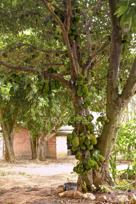 Jackfruit tree with fruit growing in garden. — Stock Photo