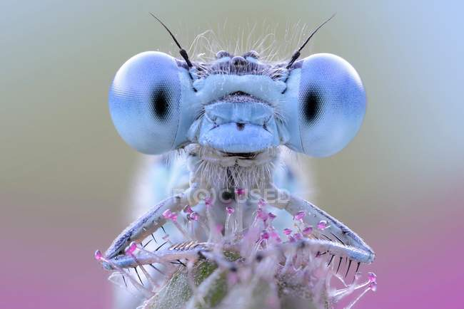 Damselfly with blue eyes — Stock Photo
