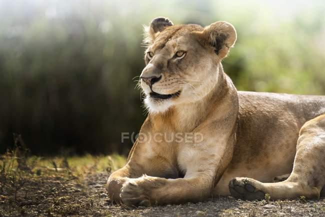 Löwin hinlegen und ausruhen, Ngorogoro, Tansania. — Stockfoto