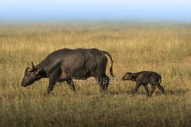 Buffalo mother and baby on field during great migration in Serengeti, Tanzania. — Stock Photo