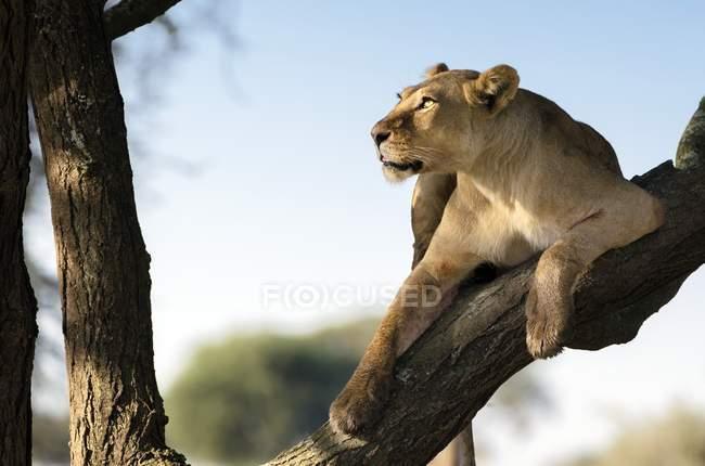 Львица, сидя на ветке дерева и глядя в Танзании — стоковое фото