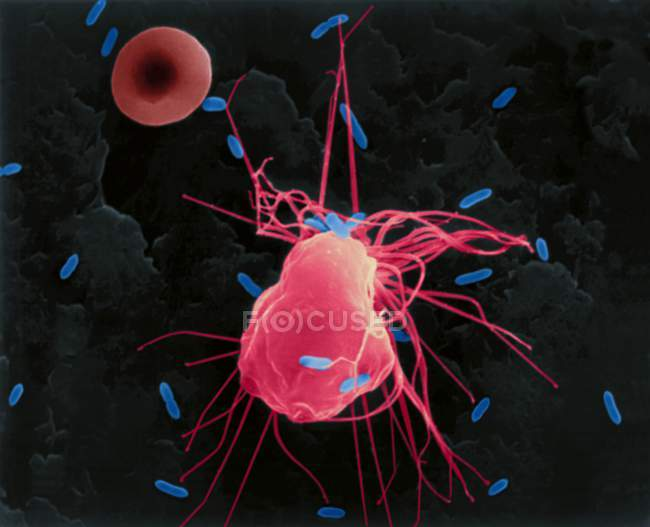 Alveolar macrophage phagocytosis of E. coli — Stock Photo