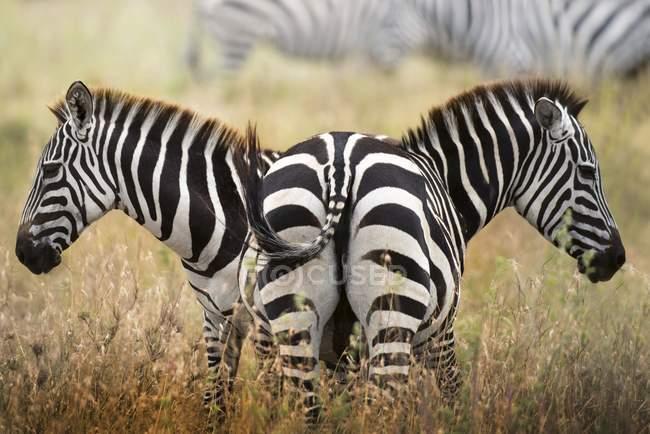 Два зебр, стоячи на луг Серенгеті, Танзанія. — стокове фото