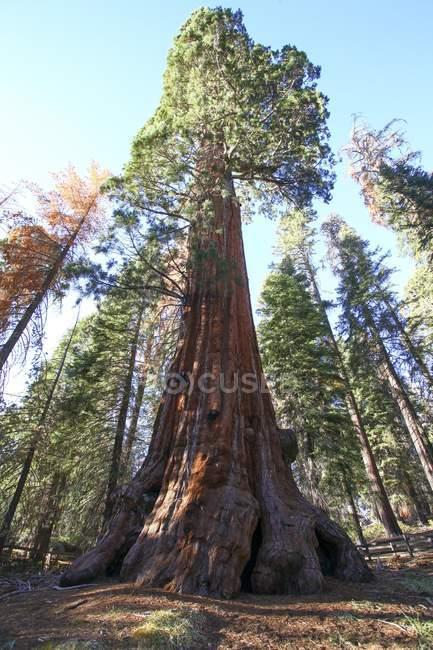 Vue à angle bas des séquoias géants . — Photo de stock