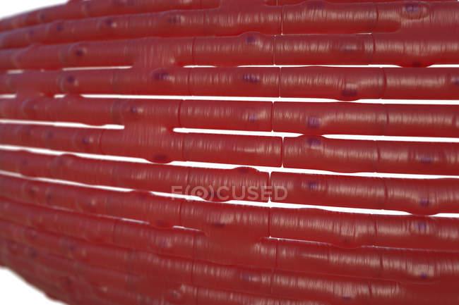 Cardiac muscle cells — Stock Photo   #161674588
