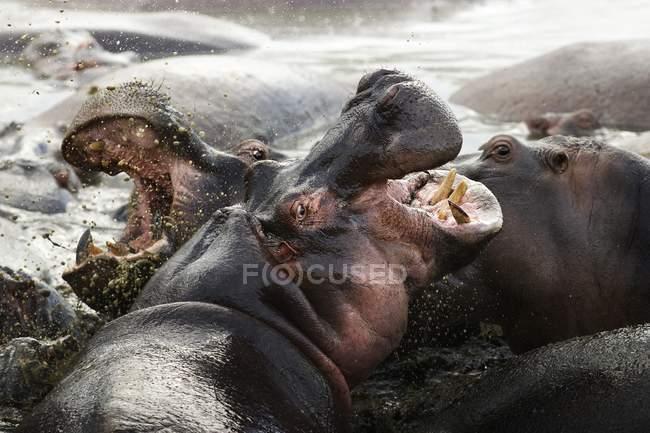 Due ippopotami che combattono in acqua a Serengeti, Tanzania . — Foto stock