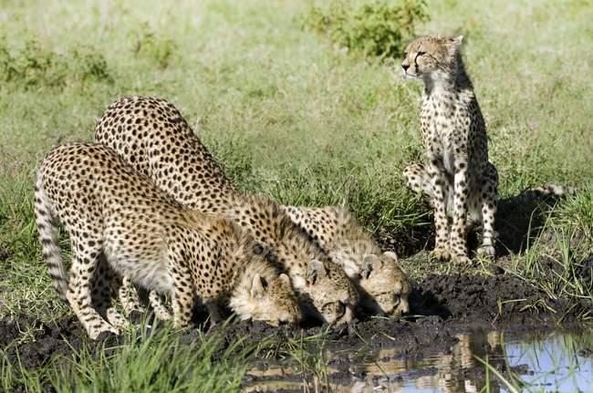 Гепардів пити в отвір вода в Серенгеті, Танзанія. — стокове фото