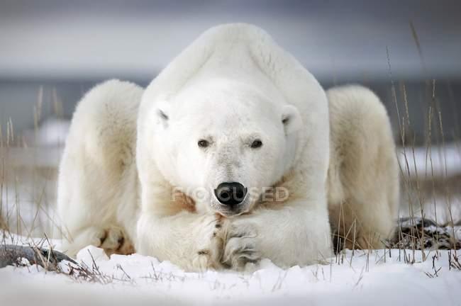 Polar bear lying on the ice — Stock Photo