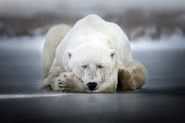 Polar bear sleeping on the ice — Stock Photo